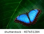 Stock photo blue morpho morpho peleides big butterfly sitting on green leaves beautiful insect in the nature 407651284
