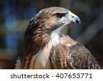 Portrait Of Red Tailed Hawk