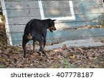 Young Thai Dog Retriever In...