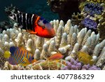Small photo of School of Scissortail Sergeants (Abudefduf sexfasciatus)/ Red Sea