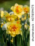 Double Flowering Daffodils In...