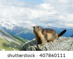 Alpine Marmot Standing On The...