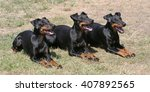 typical  manchester terriers in ...   Shutterstock . vector #407892565