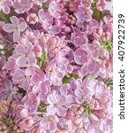 Pink  Purple  Syringa Vulgaris...