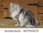 Persian Cat In Garden In The...