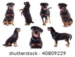 Many Rottweilers  Sitting ...