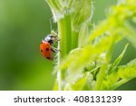 Close Up Of A Ladybird Eating...