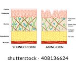 the diagram of younger skin and ... | Shutterstock .eps vector #408136624