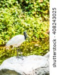 black headed ibis bird in... | Shutterstock . vector #408243025
