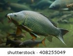 Wild Common Carp  Cyprinus...
