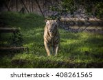 the white tiger or bleached... | Shutterstock . vector #408261565