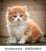 Stock photo beautiful british long hair kitten sitting on wooden floor 408344845