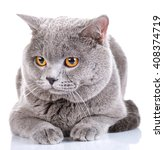 Cute British Shorthair Cat...