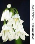 Small photo of Three Cornered Leek, Allium triquetrum