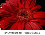 Close Up Of Red Daisy Gerbera...