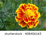 French Marigold Or Tagetes...