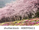 Full Bloom Cherry Blossom With...