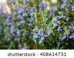blossoming rosemary plants in... | Shutterstock . vector #408614731