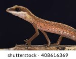 Small photo of Cat gecko (Aeluroscalabotes felinus felinus)