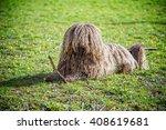puli  small medium breed of... | Shutterstock . vector #408619681