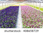 Many Pansies In A Greenhouse