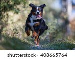 Stock photo swiss bernese mountain dog running full speed in the forest 408665764
