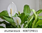 peace lily flower | Shutterstock . vector #408729811