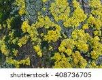Yellow Tree Lichens  Xanthoria...
