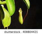 One Pitcher Plant On A Black...