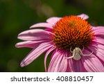 White Crab Spider On Purple...