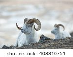 Dall Sheep rams (Ovis dalli) lie on the rocky slopes in the mountains in Kluane National Park in the Yukon in Canada
