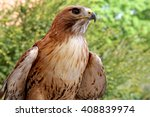 Close Up Of A Red Tailed Hawk...