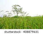paddy rice in green  | Shutterstock . vector #408879631