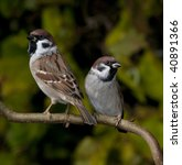 Two Tree Sparrows On A Branch.