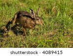 Stock photo hare running through a field in the early morning light 4089415
