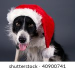 Border Collie In Santa Outfit