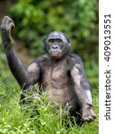 chimpanzee bonobo sits with the ... | Shutterstock . vector #409013551