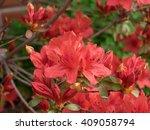 Red Azalea Blooming