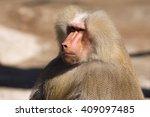 Hamadryas Baboon  Papio...