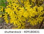 Small photo of Abundantly blooming yellow flowers bush