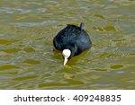 Coot  Bird Drinking