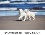 Stock photo two golden retriever puppies playing on the beach 409255774