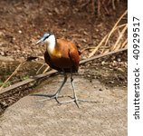 Small photo of Jacana (Actophilornis africana), lily-trotter