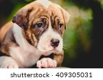 close up cute pitbull puppy dog | Shutterstock . vector #409305031