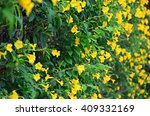 Small photo of Allamanda cathartica, common Trumpetvine or golden trumpet flower in the garden