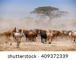 Masai Cows In Dust On African...