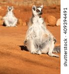 Ring Tailed Lemurs Of...