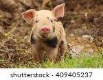 Cute Piglet Watching At Camera