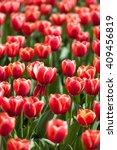 field of red tulips in summer... | Shutterstock . vector #409456819