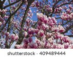 pink cherry tree blossoms in... | Shutterstock . vector #409489444
